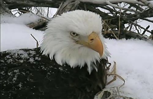 Eagle Cam Image