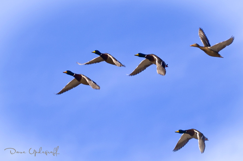 Ducks on the wing