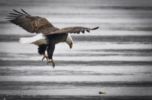 Eagle landing on ice