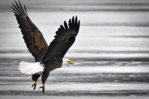 Eagle with landing gear down