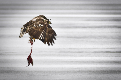 Young Eagle with stolen fish