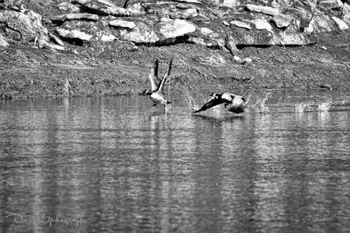 Geese on the wind - 2