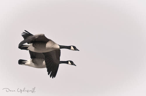 A pair of Canadian Geese