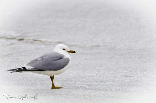 Reg Eyed - Ring-Billed Gull