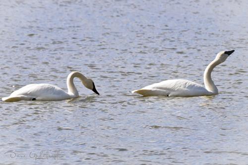 Hurstville Swans - 2