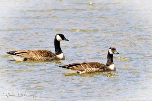 Pair of Geese Crusing