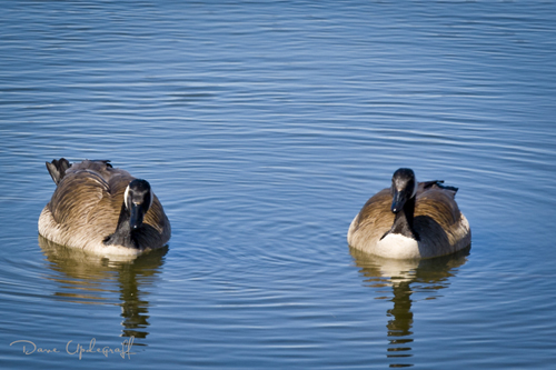Hurstville Geese