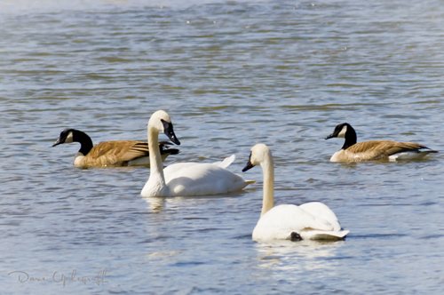 Geese & Swans co-exist