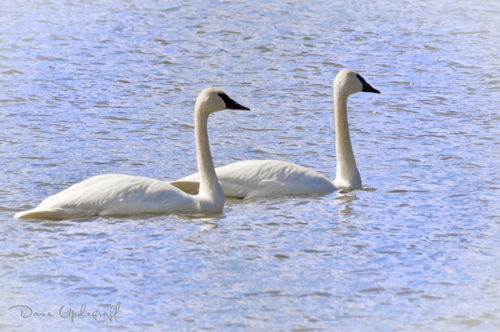 Trumpeter Swans @ Hurstville Center