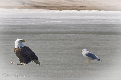 Sabula 2 Eagle and Ringed Bill Gull