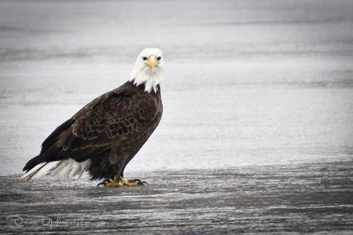 A lone Eagle @ Sabula