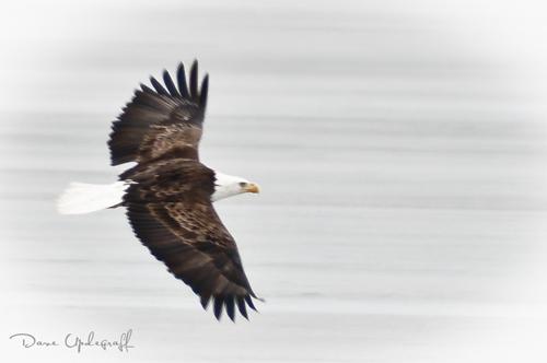 A lone soaring Eagle