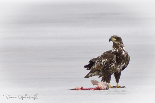 Young Eagle - Sabula