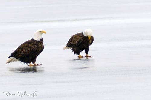 Pair of Eagles @ Sabula