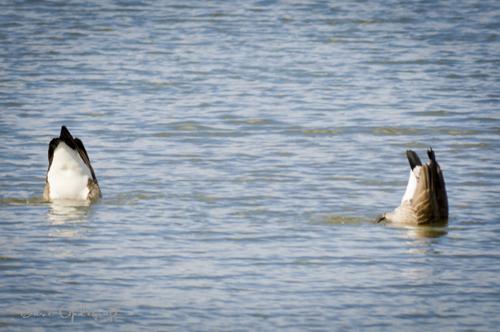 Upside Down Geese