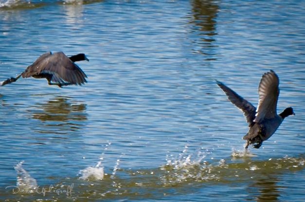 Hurstville Ducks
