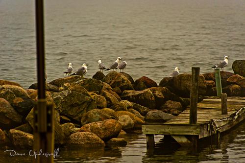 Gulls Rule
