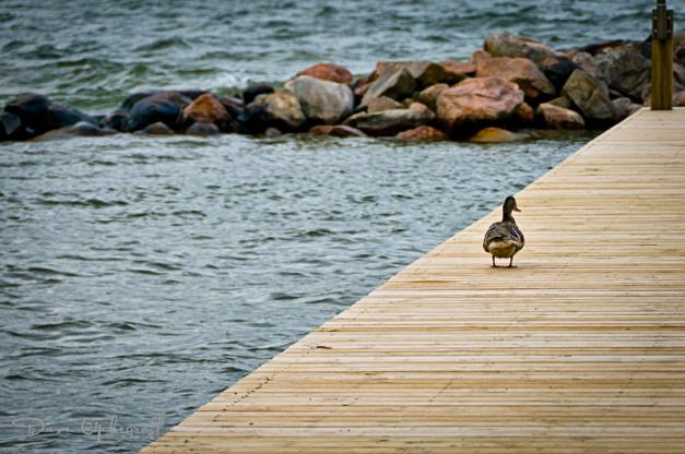 Sentry Duck