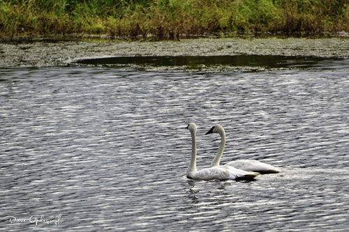 Intruding Pair Of Swans