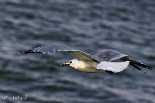 Ringed Bill Sea Gull