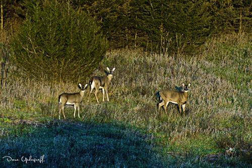 Deer graze near highway 61 near Maquoketa, Iowa