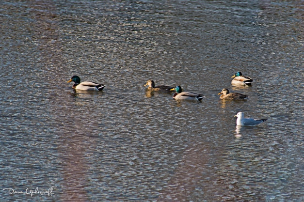 Ducks and a Gull