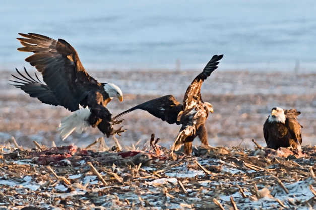 Eagles fight over food