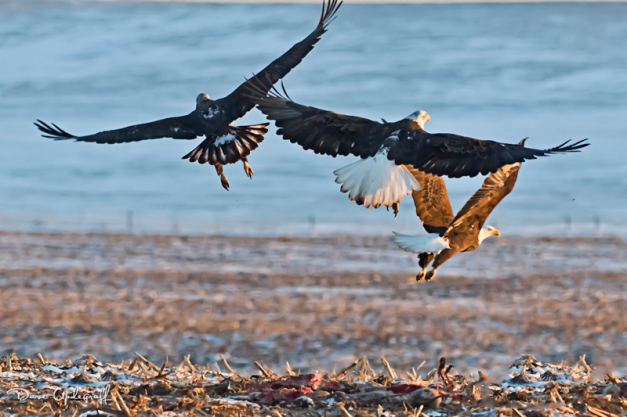 Eagles scrapping over food