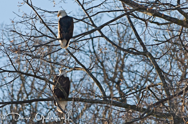 A pair of Eagles sitting in a tree