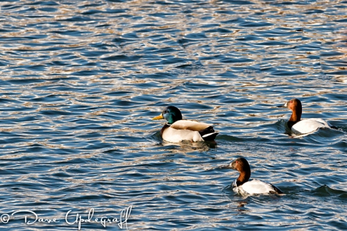 Canvass Back Duck and a Mallard