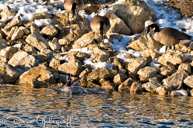 Gray Goose On The Rocks