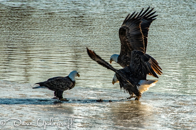 Eagles fight over the food