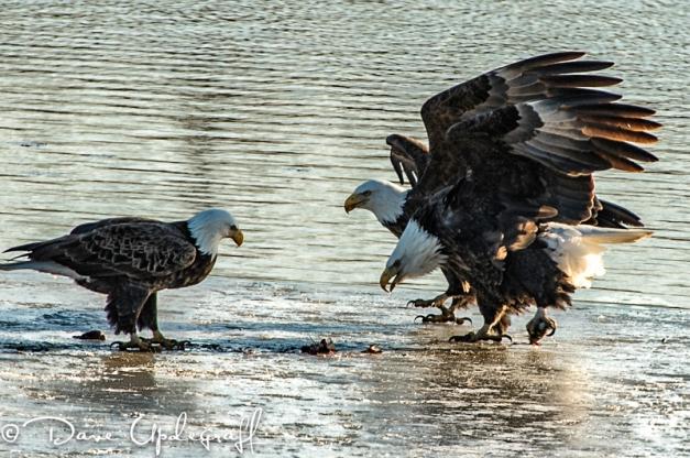 Eagles Posturing