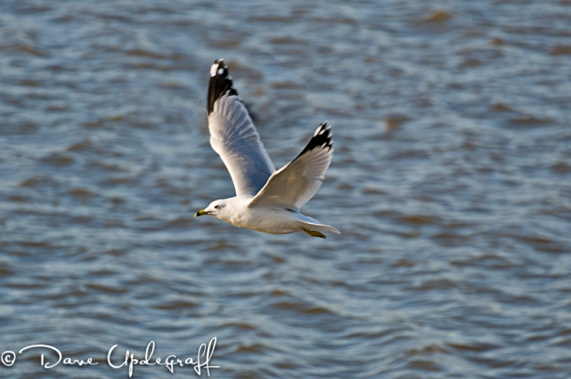 Ring Billed Gull Flying
