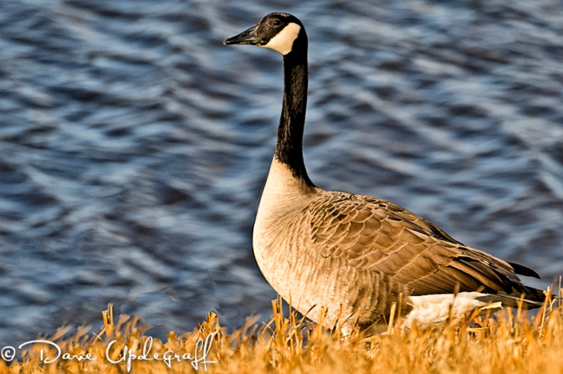 A goose near the water
