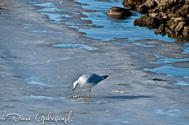 A Ring Billed Gull