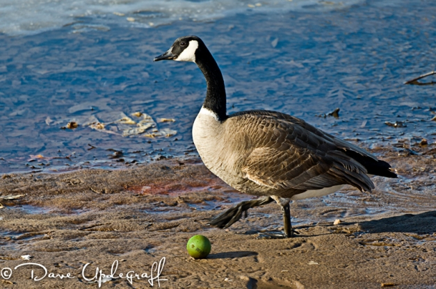 A goose and a tennis ball