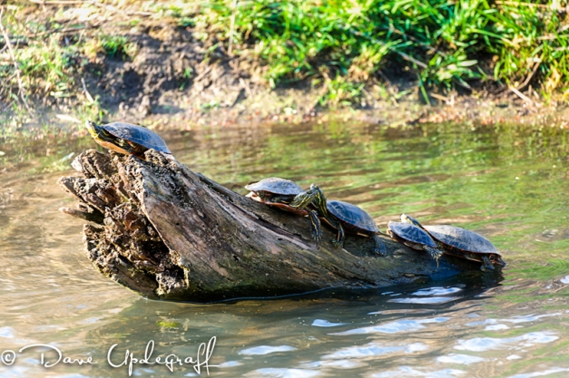 Sunning Painted Turtles