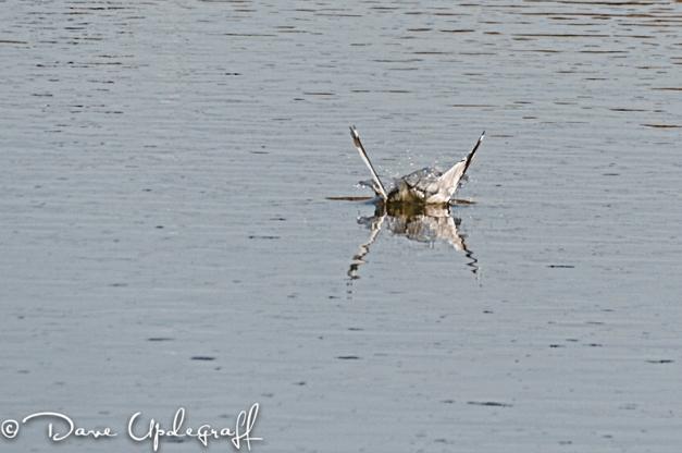 Gull dives