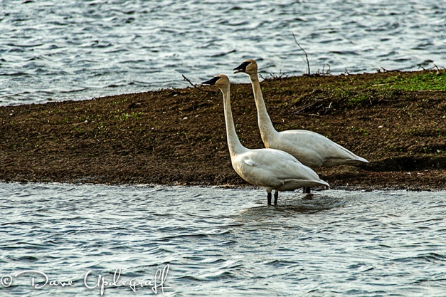 A pair of Trumpter Swans