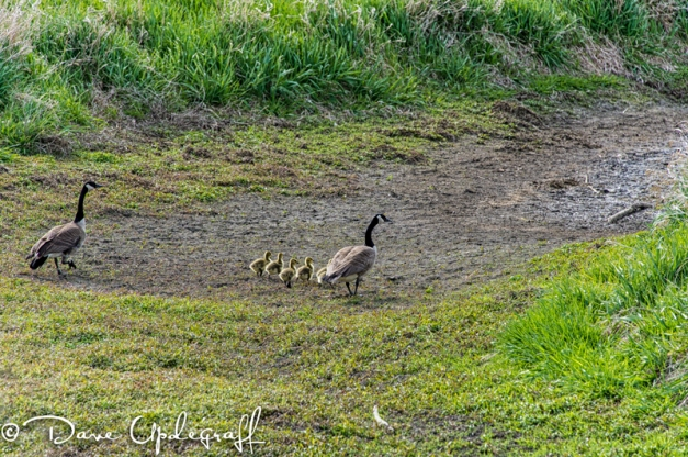 A new family of geese