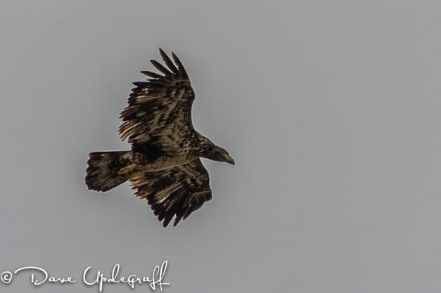 A young eagle hunts