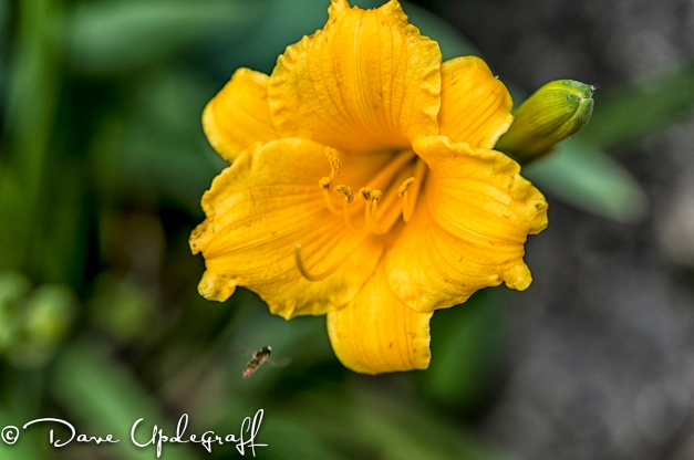 Hurstville Flowers with a Bee