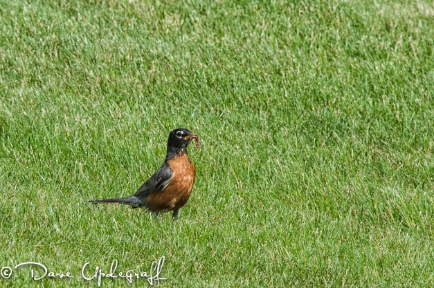 A Robin with worm