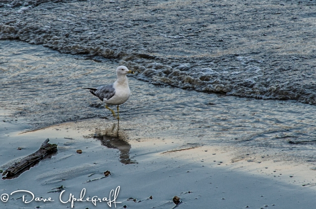 A lone Gull looks for food
