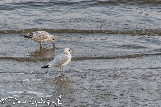 Two Gulls on the Mississippi