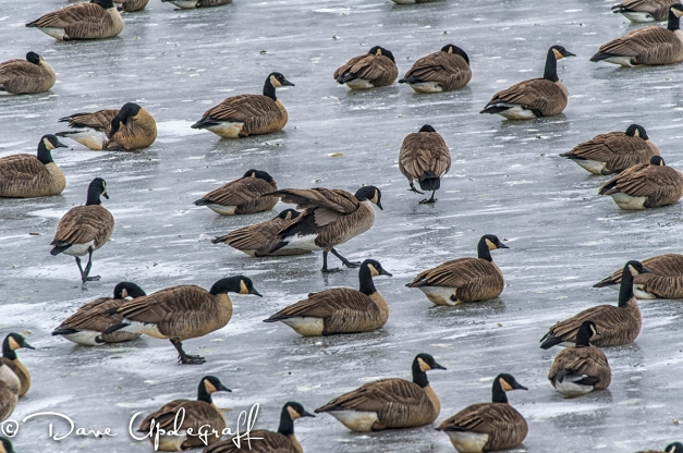 Geese at 16th Street Basin