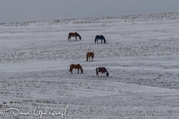 Five Horses In A Field