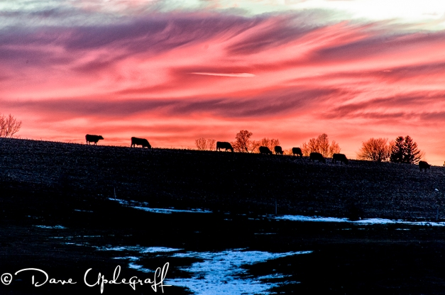 Cattle on a hill at sunset