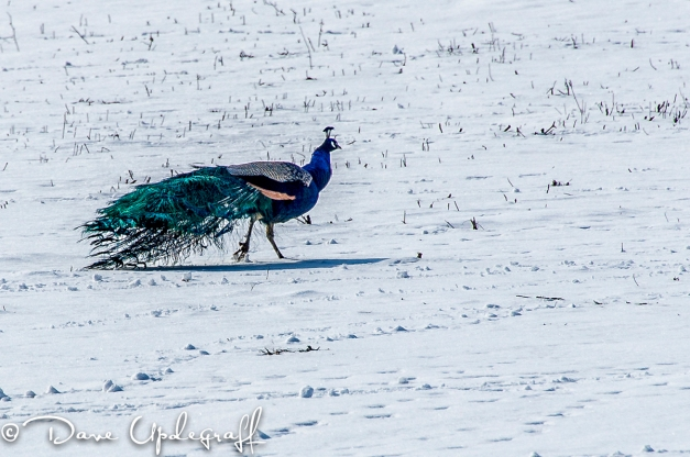 A lone Peacock